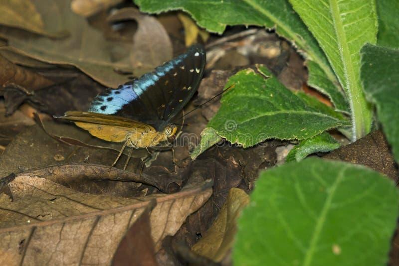Wizerunek Pospolity Archduke Butterflymale zdjęcie stock