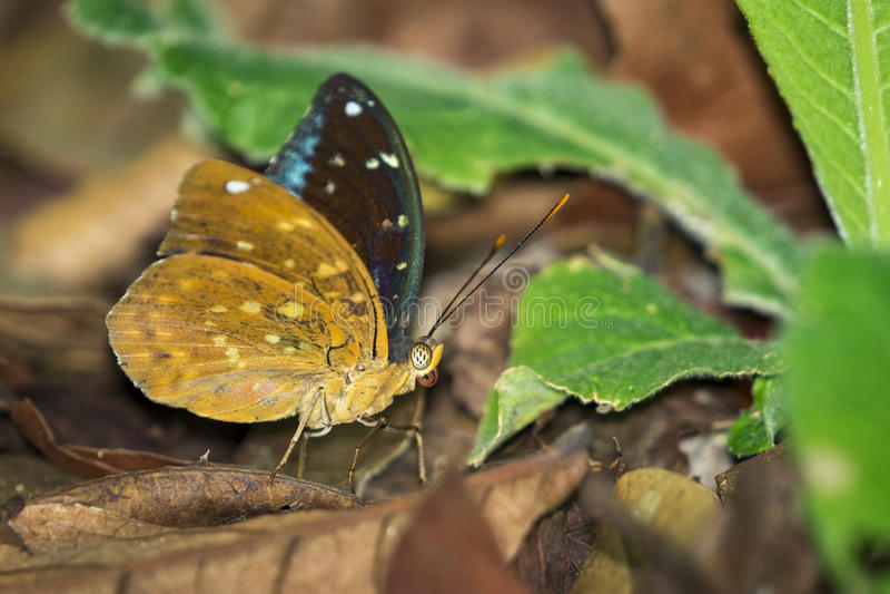 Wizerunek Pospolity Archduke Butterflymale obrazy royalty free