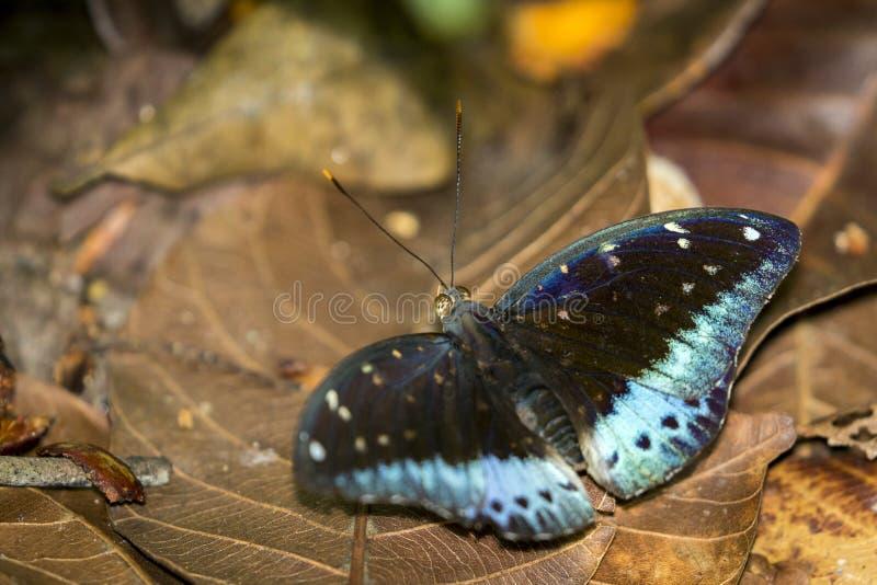 Wizerunek Pospolity Archduke Butterflymale obraz stock