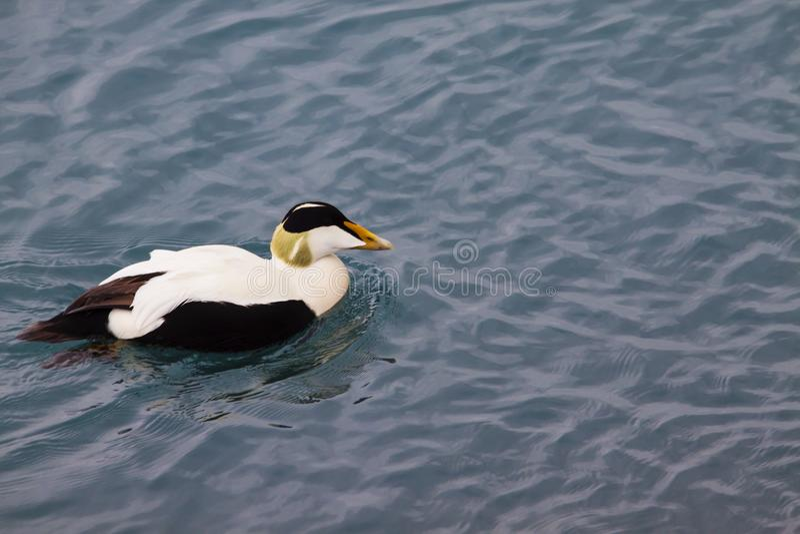 Wizerunek pospolity edredon, typowa kaczka Iceland fotografia stock