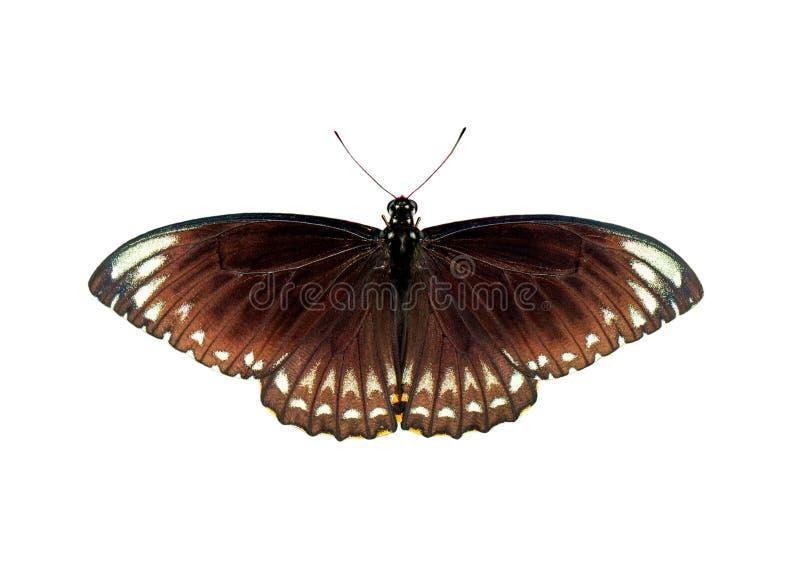 Wizerunek pospolity indyjski crowEuploea sedna layardi odizolowywający na białym tle insekt zwierz?ta obraz stock