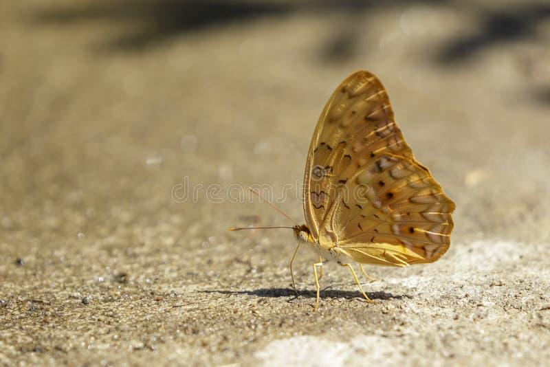 Wizerunek pospolity szlachciury butterflyCirrochroa tyche rotundata na ziemi insekty zwierz?ta zdjęcie stock