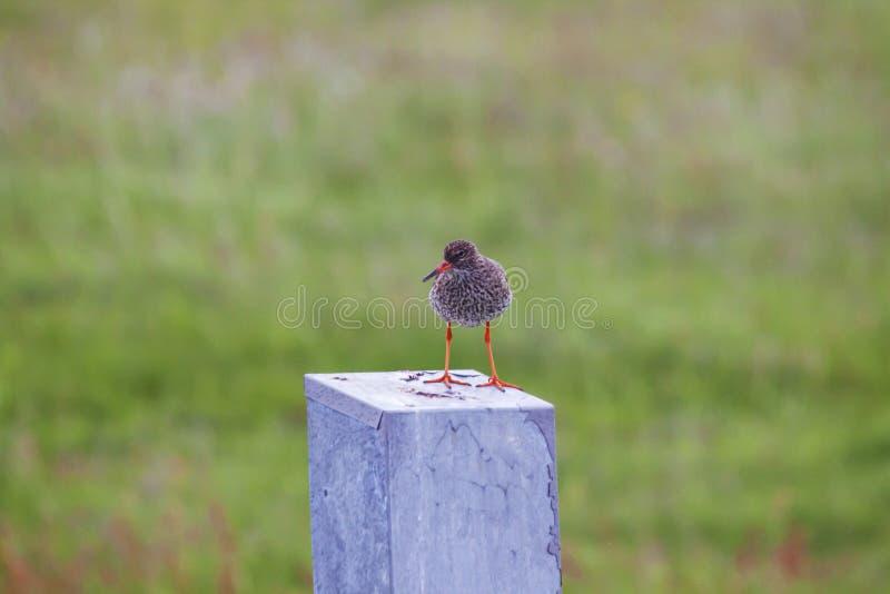Wizerunek ptaki Iceland zdjęcia stock