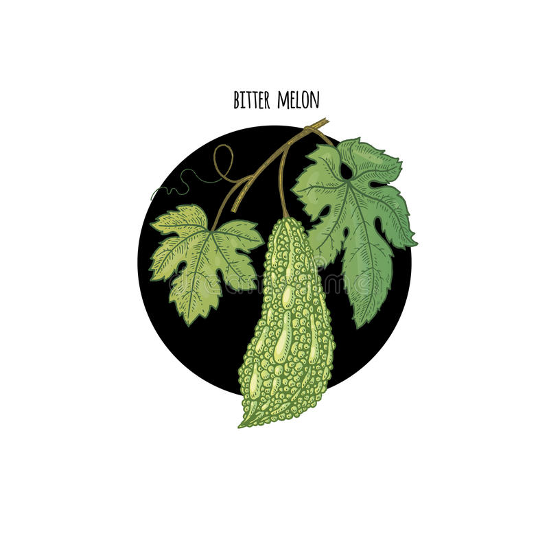 Wizerunek roślina Gorzki melon ilustracji