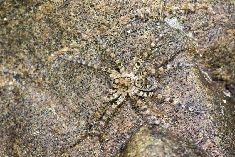 Wizerunek Rzeczni Huntress pająków Venatrix arenaris zdjęcie stock
