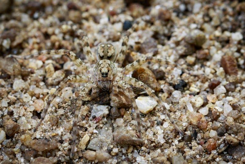 Wizerunek Rzeczni Huntress pająków Venatrix arenaris zdjęcia stock