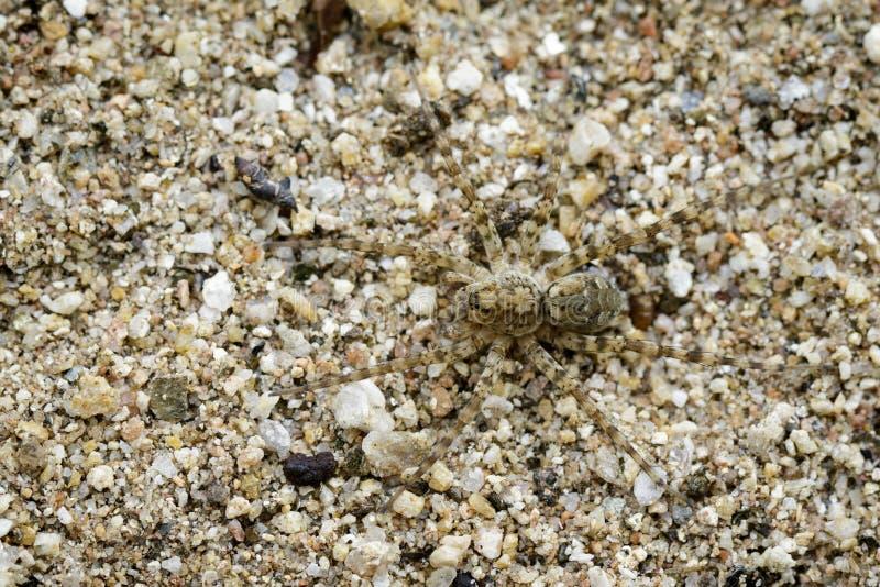 Wizerunek Rzeczni Huntress pająków Venatrix arenaris na piasku zdjęcie royalty free