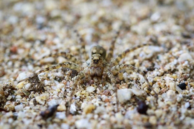 Wizerunek Rzeczni Huntress pająków Venatrix arenaris na piasku fotografia stock