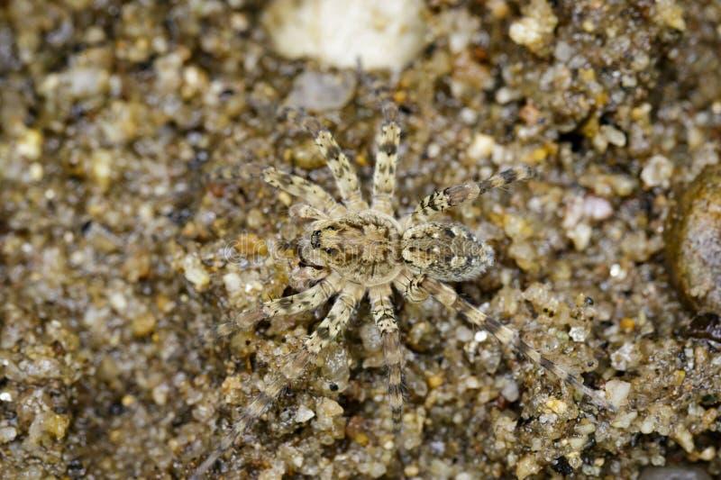 Wizerunek Rzeczni Huntress pająki na piasku obraz stock