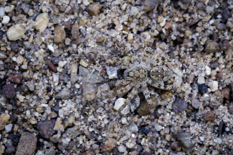 Wizerunek Rzeczni Huntress pająki na piasku zdjęcia royalty free