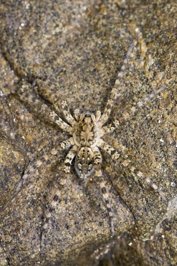 Wizerunek Rzeczni Huntress pająki na skale fotografia stock