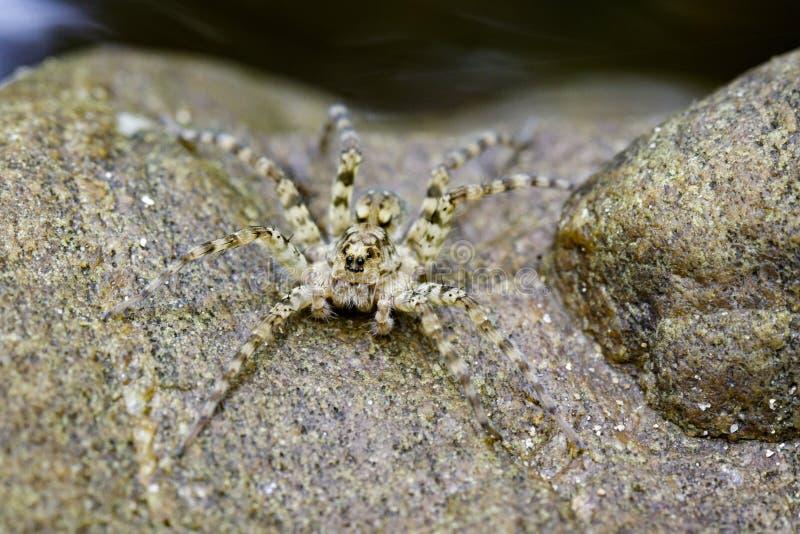 Wizerunek Rzeczni Huntress pająki na skale obraz stock