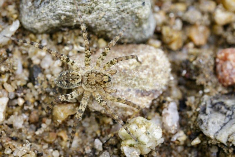 Wizerunek Rzeczni Huntress pająki & x28; Venatrix arenaris& x29; na skale fotografia stock