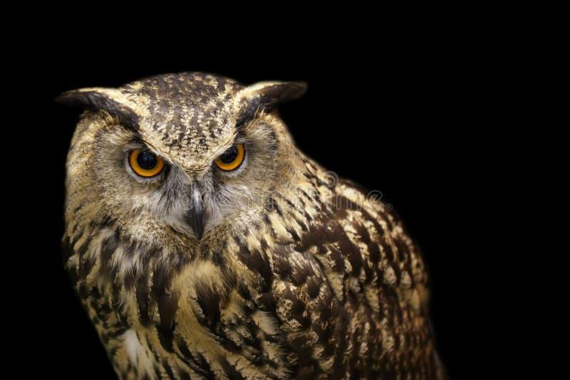Wizerunek sowa na czarnym tle ptaki dzikich zwierz?t zdjęcia royalty free