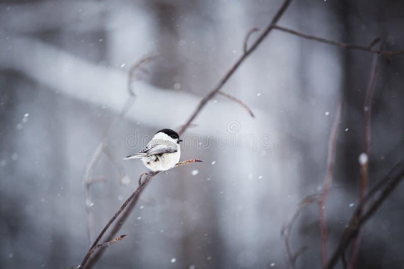 Wizerunek uroczego i malutkiego bagna tit ptasi obsiadanie na gałąź w zima lesie fotografia stock