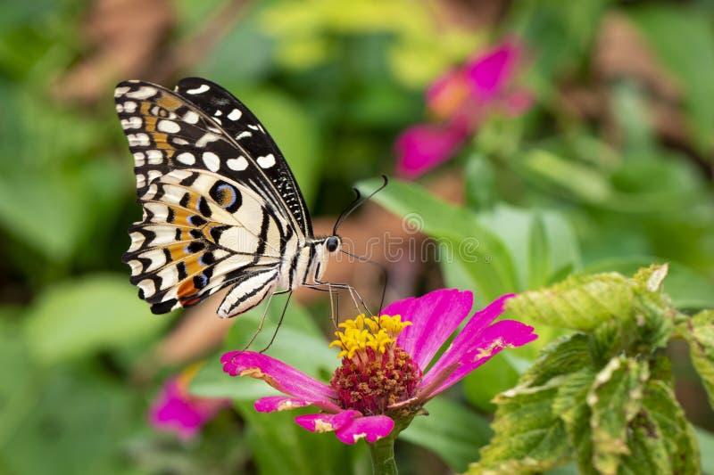 Wizerunek wapna butterflyPapilio demoleus ssa nektar od kwiatów na naturalnym tle insekty zwierz?ta zdjęcie royalty free