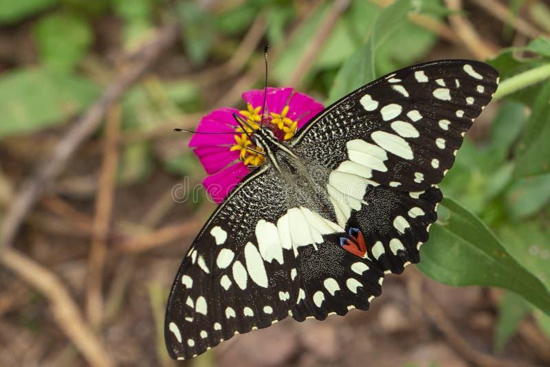 Wizerunek wapna butterflyPapilio demoleus ssa nektar od kwiatów na naturalnym tle insekty zwierz?ta zdjęcia stock