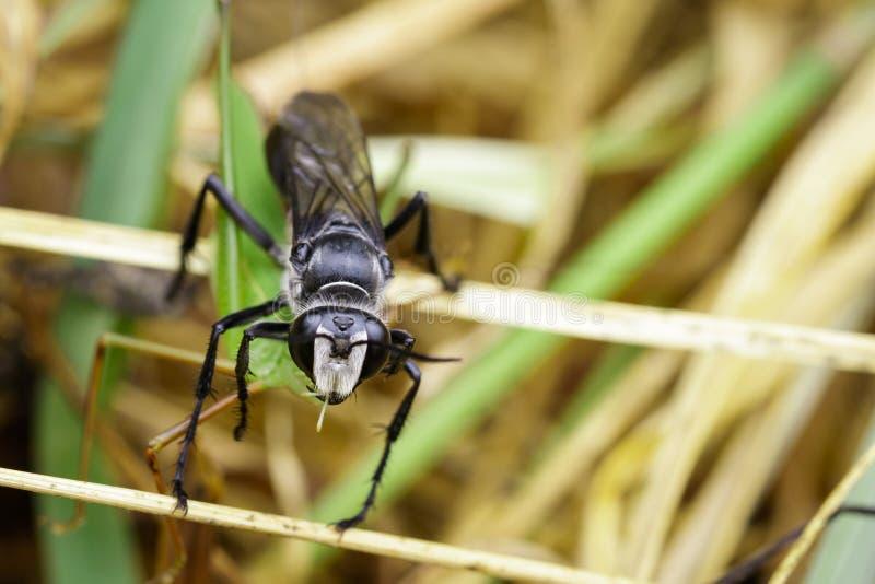 Wizerunek Wielki Czarny osy Sphex pensylvanicus zdjęcie stock
