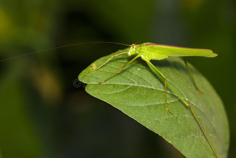 Wizerunek zielony pasikonik zdjęcia stock
