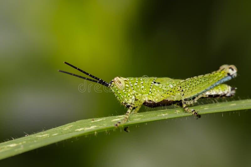 Wizerunek zielony pasikonik zdjęcie royalty free
