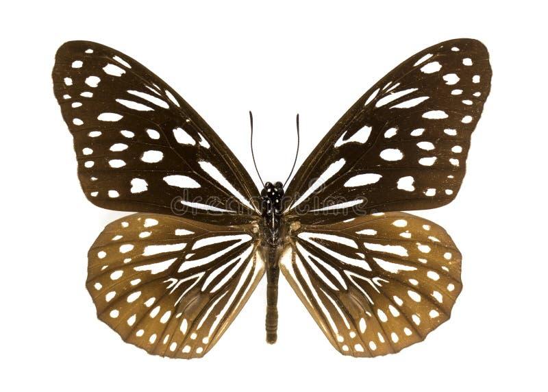 Wizerunek zmrok - błękitny Tygrysi motyli Danaus hamata zdjęcie stock
