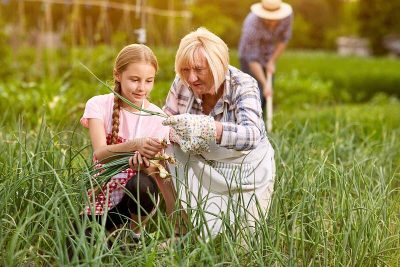 Wnuczka z babci zrywania cebulą obraz royalty free
