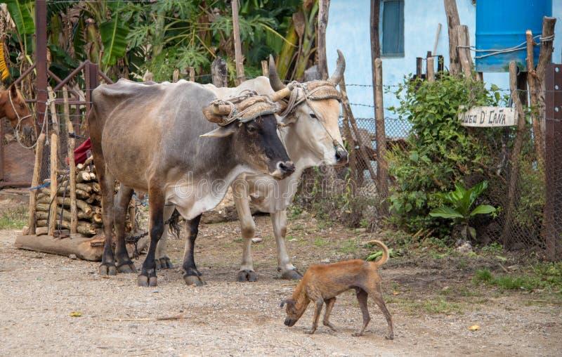 Wołowa fura w Wiejskim Kuba fotografia royalty free