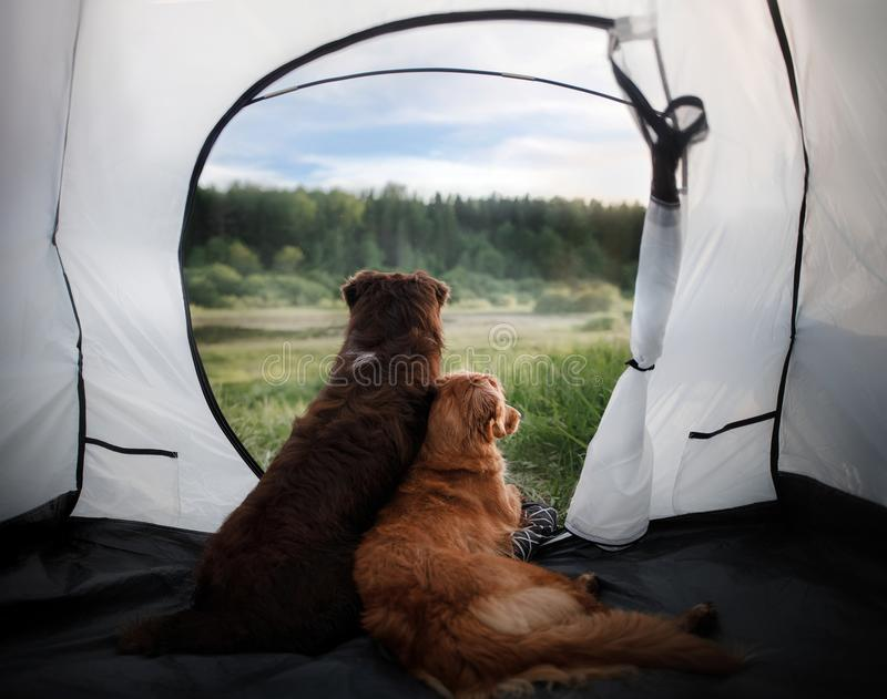 Wo dogs in a tent on nature. Summer vacation. royalty free stock image