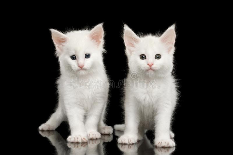 Wo Little White Maine Coon Kittens Isolated on Black Background. Two Little White Maine Coon Kittens Sitting on Isolated Black Background, front view royalty free stock images