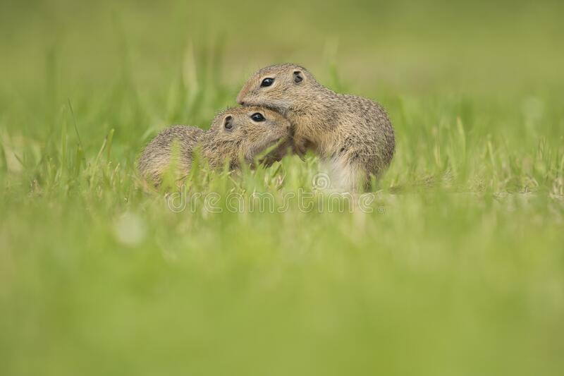 Two young european ground squirrels grooming each other in a grass field. Two cute young european ground squirrels grooming each other in a grass field royalty free stock photo
