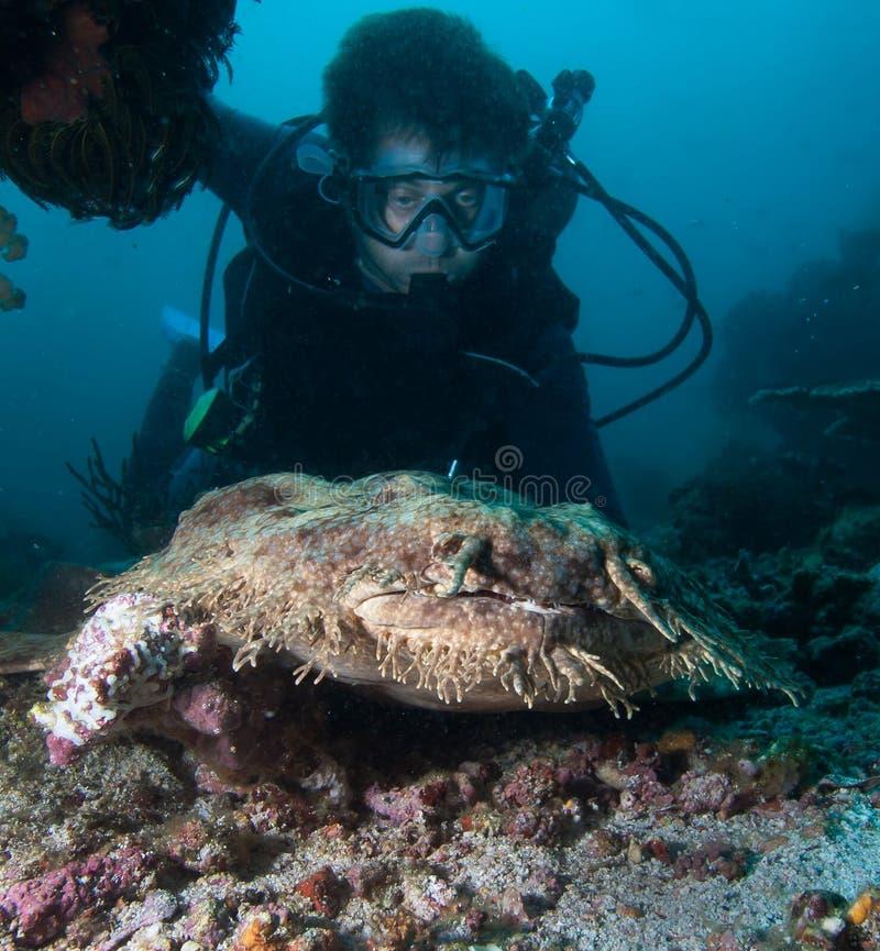 Wobbegong罕见的地毯鲨鱼 免版税库存照片