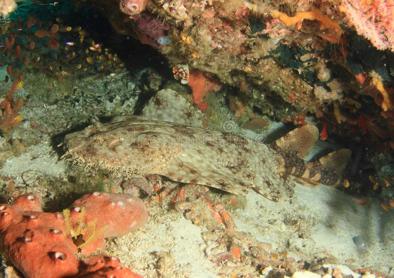 Wobbegong shark in cave stock photo