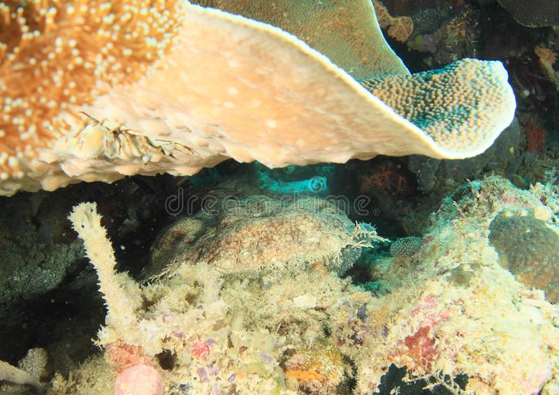 Wobbegong shark in cave royalty free stock photography