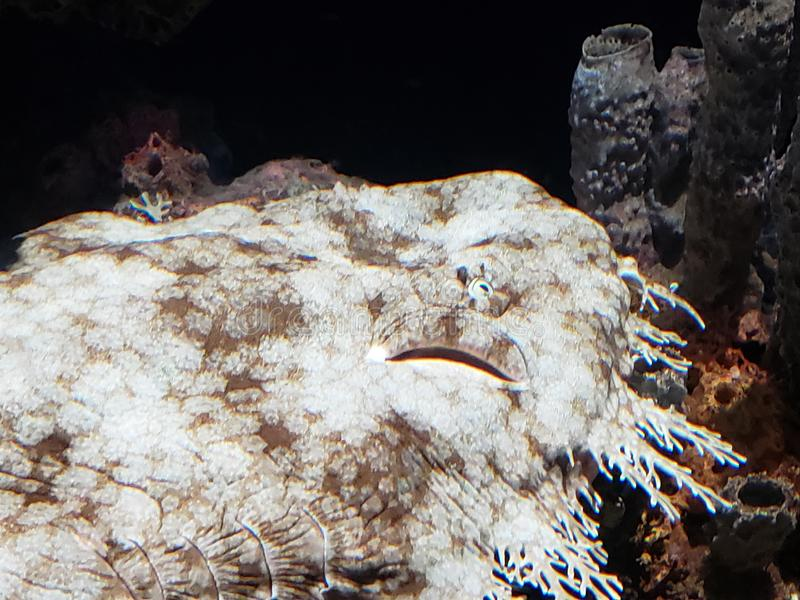 Wobbegong Shark in a Reef. As ambush predators, wobbegong sharks spend their time in different hideaways, waiting for prey royalty free stock photo
