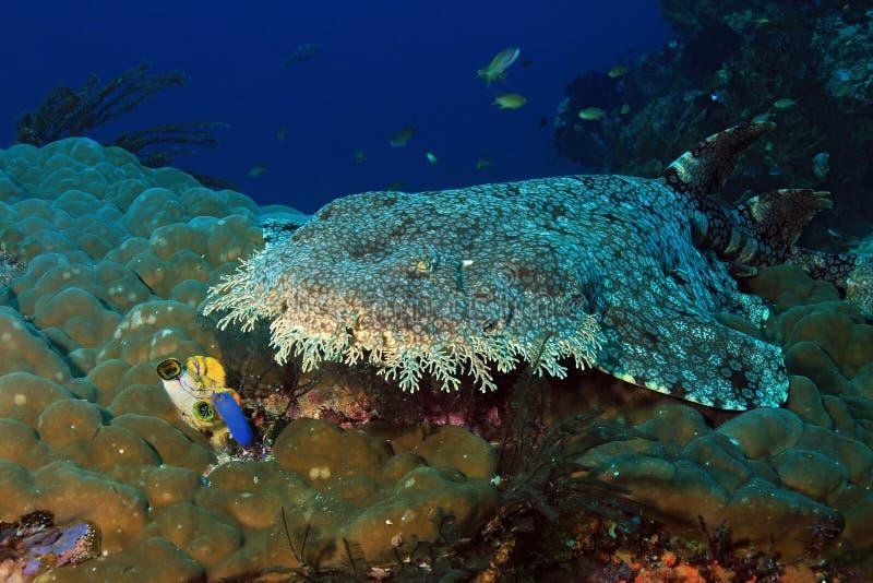Wobbegong Tasselled su Coral Reef fotografie stock