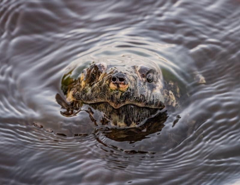 Wod czochry Jako chapnąć żółw Łamają powierzchnię zdjęcie stock