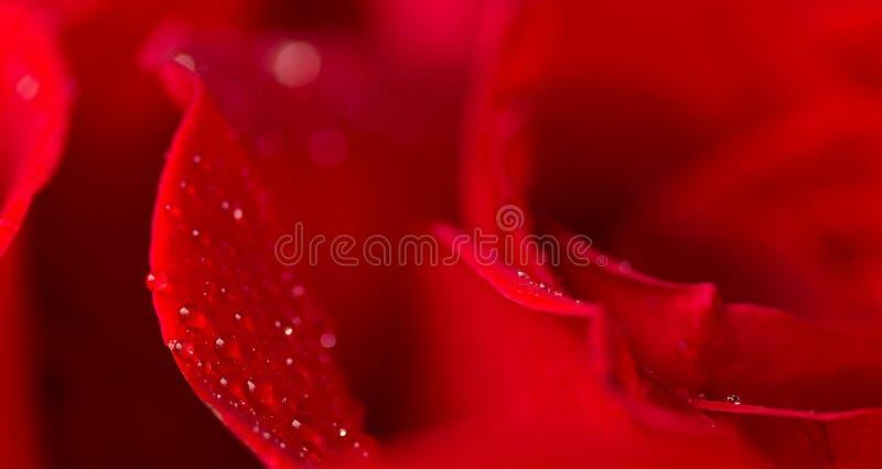 Wod krople lś na płatkach róża obraz stock
