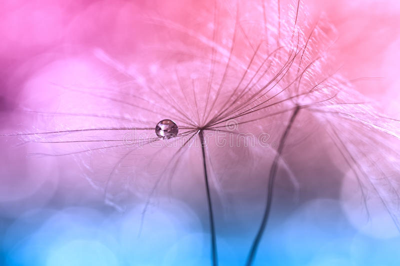 Wod krople lub rosa na dandelion, różowego tła błękitny kolor Artystyczny wizerunek dandelion Makro- dandelion fotografia royalty free