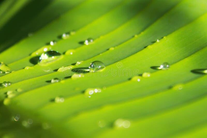 Wod krople na bananowych liściach obrazy stock