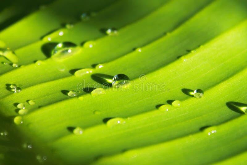 Wod krople na bananowych liściach zdjęcie royalty free