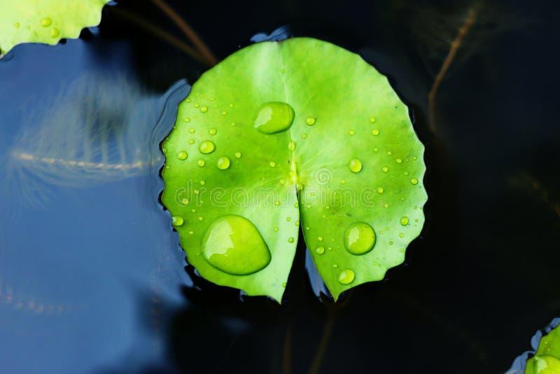 Download Wod Krople Na Lotosowym Liściu Obraz Stock - Obraz złożonej z błyszczący, mokry: 57657701