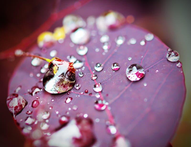 Wod krople na purpury rośliny liściu fotografia stock