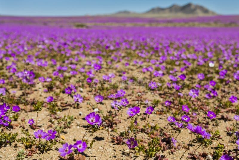 Woda komes sucha pustynia w świacie: Atacama kwitnienia kwiaty obrazy royalty free