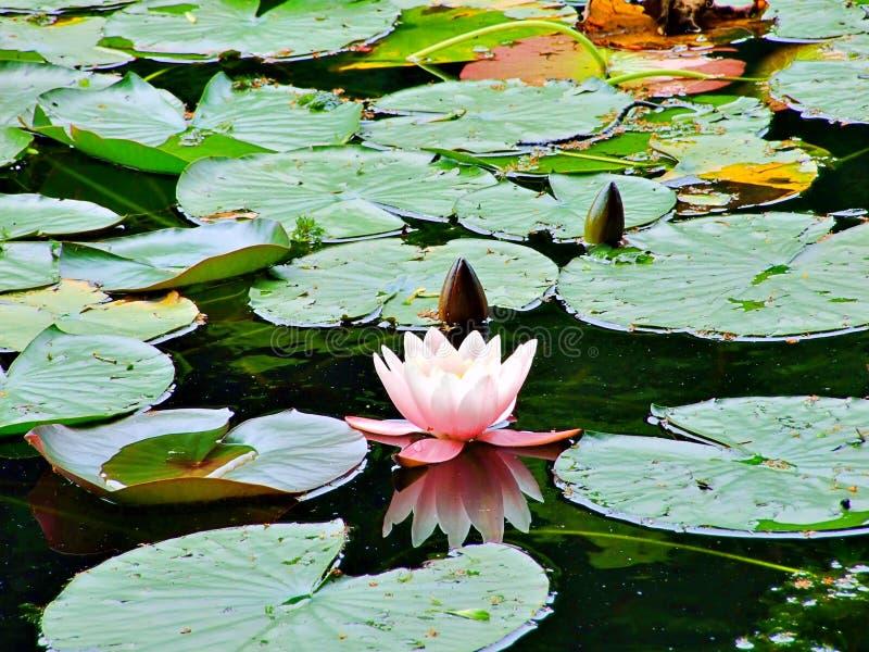 woda, kwiat, lotos, staw, leluja, natura, menchia, roślina, zieleń, ogród, jezioro, wodna leluja, piękno, waterlily, flory, okwit obraz stock