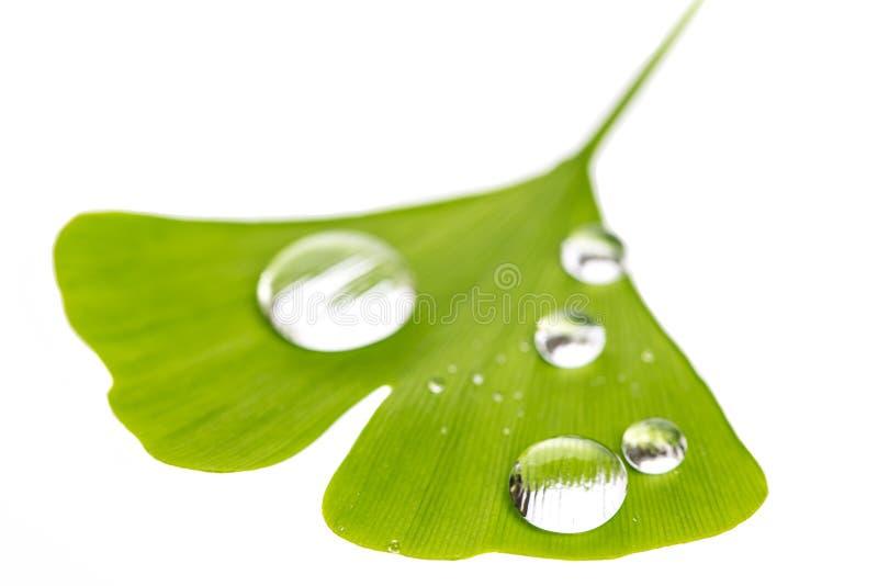 Woda opuszcza na pojedynczym ginko liścia ginko bilboa obraz royalty free