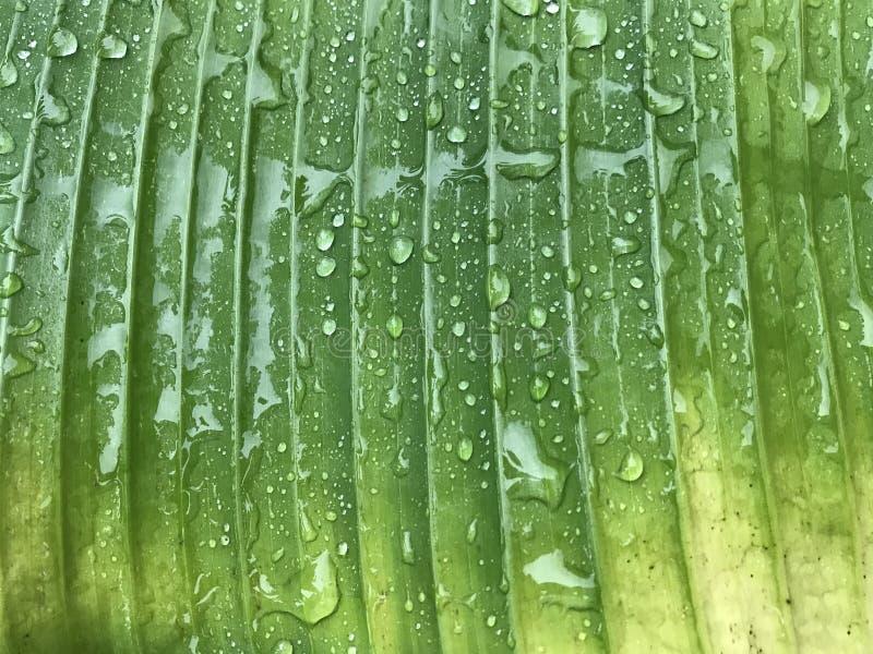 Woda opuszcza na zielonym i żółtym bananowym liściu po padać obraz royalty free