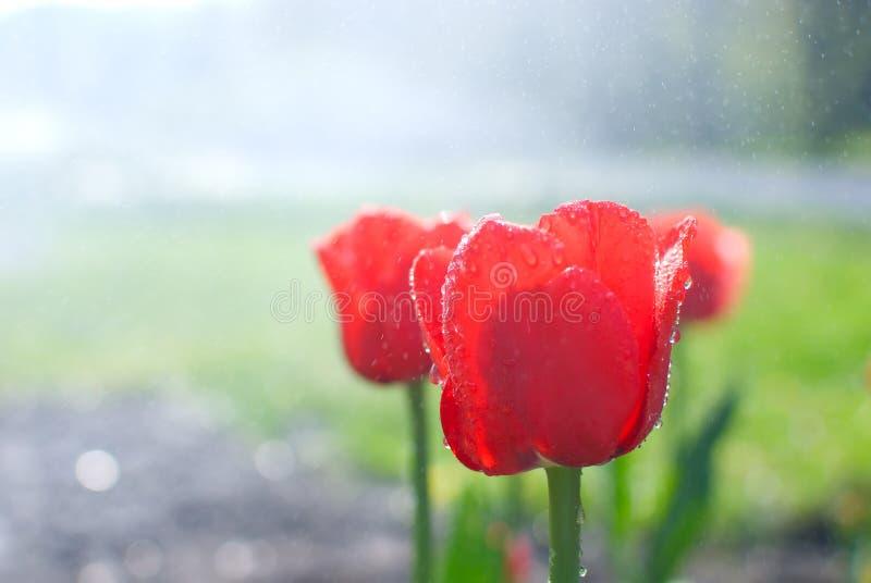 Woda opuszcza, ranek rosa na świeżych kwitnących czerwonych tulipanach w spr obraz stock