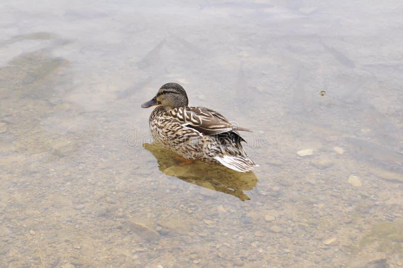 Woda, ptak, kaczka Ryba pod wod? zdjęcie stock
