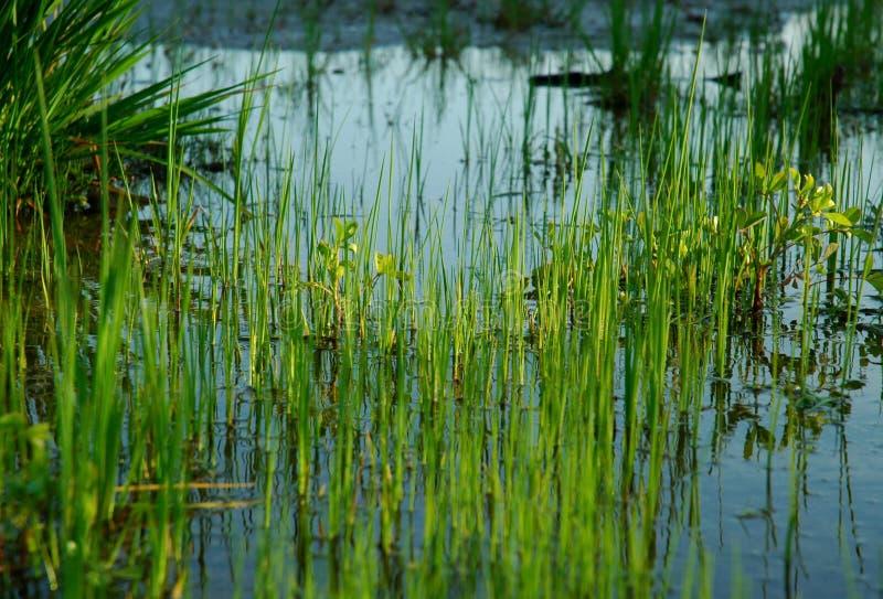 woda trawy fotografia royalty free