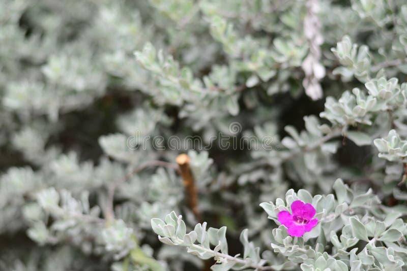 Woderful Barometryczni Bush menchii bielu i kwiatu liście fotografia stock